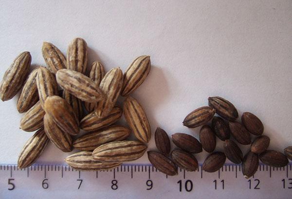 Семена лоха
