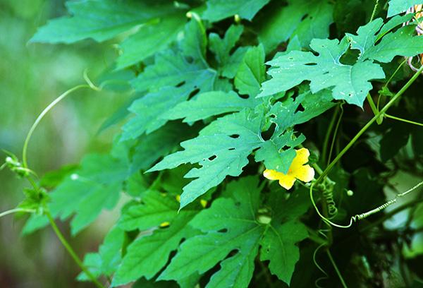 Цветение момордики