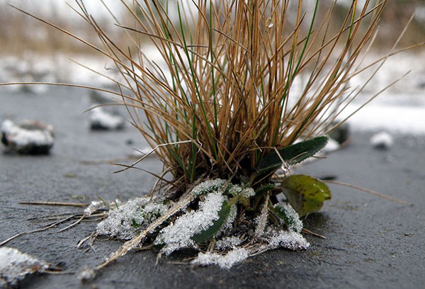 Овсяница зимой