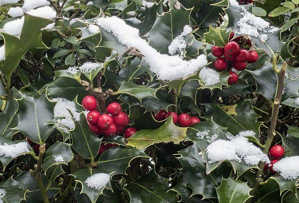 Зимовка остролистного падуба