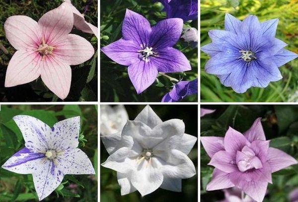 Цветок Платикодон разных видов