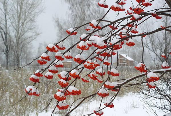 Рябина зимой