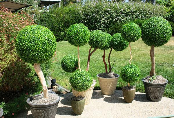 Самшит: посадка и уход, особенности выращивания вечнозеленого кустарника