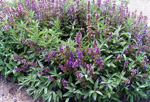 Шалфей: посадка и уход в открытом грунте, особенности выращивания