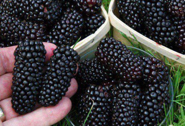 Крупные плоды шелковицы