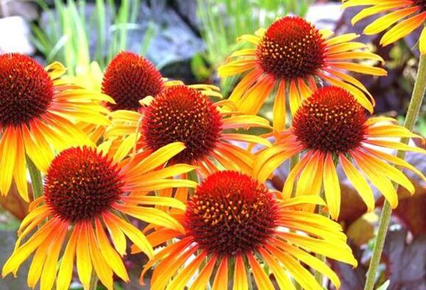 Эхинацея с желтыми цветками