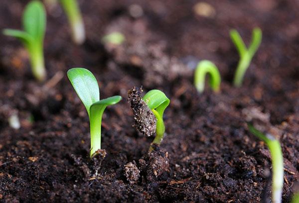 Всходы семян флоксов