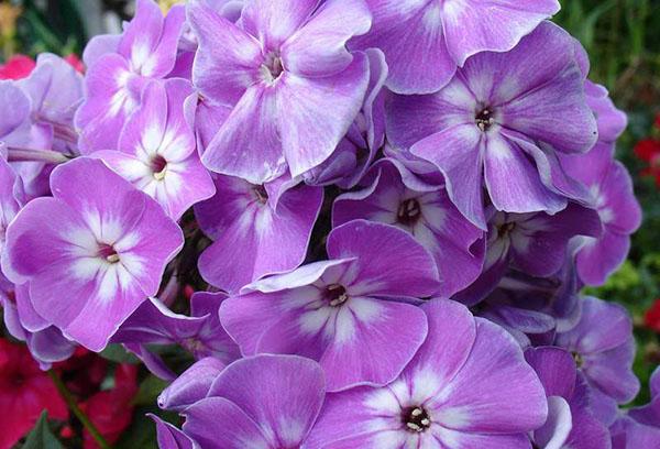 Цветы флокса
