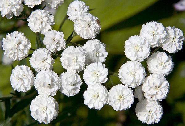 Садовый тысячелистник с махровыми цветами