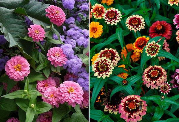 Разноцветные циннии
