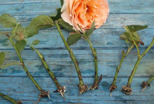 Черенки розы