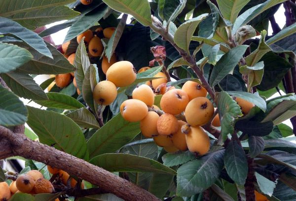 Экзотический фрукт мушмула