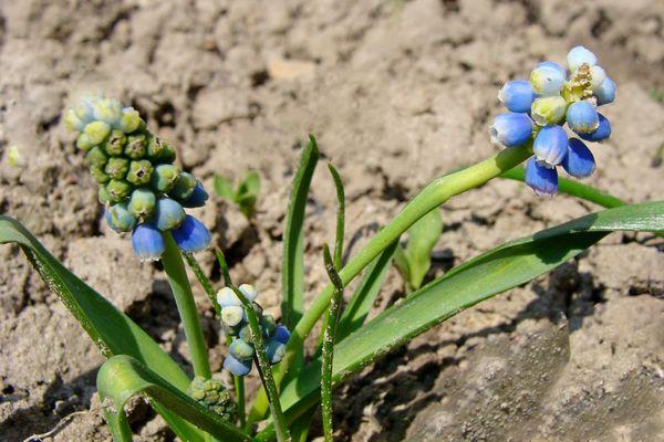 Цветы мускари в грунте