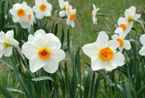 Полевые цветы нарциссы