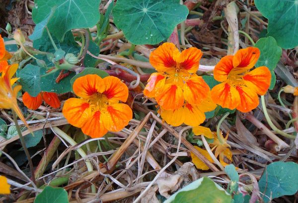 Оранжевые цветки настурции
