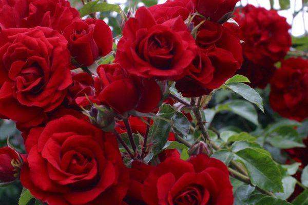 Плетистая роза Симпатия