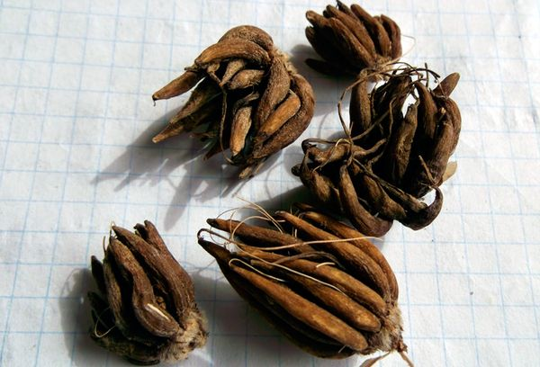 Семена Ранункулюса