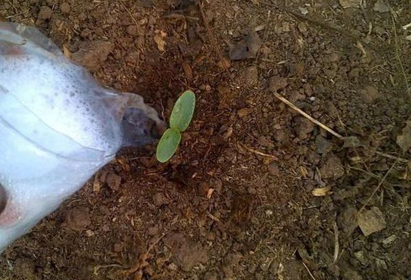 Полив ростка в грунте