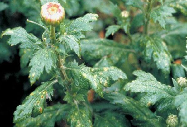 Поврежденный болезнью куст хризантемы