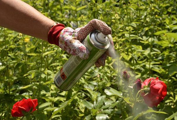 Обработка розовых кустов химическим препаратом