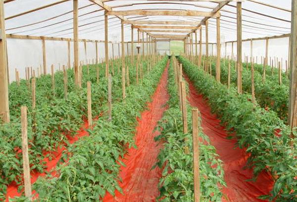 Неорганическая мульча в теплице с томатами