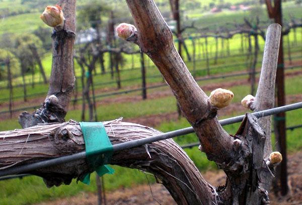 Почки на виноградной лозе