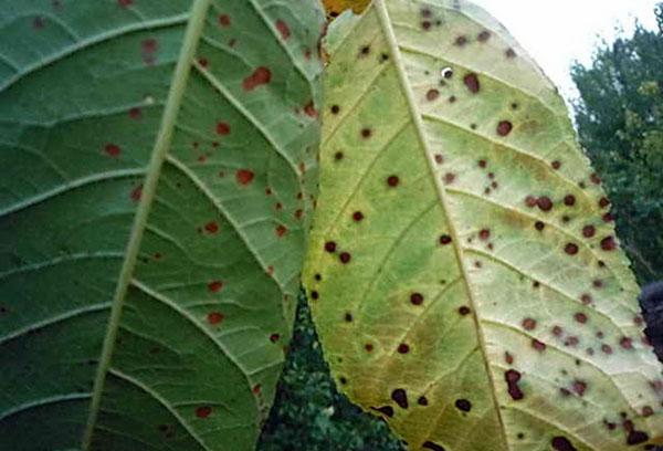 Клястероспориоз на листьях