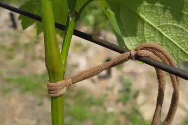 Подвязка помидора капроновой материей