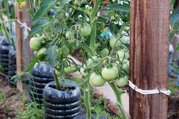 Подвязанные помидоры