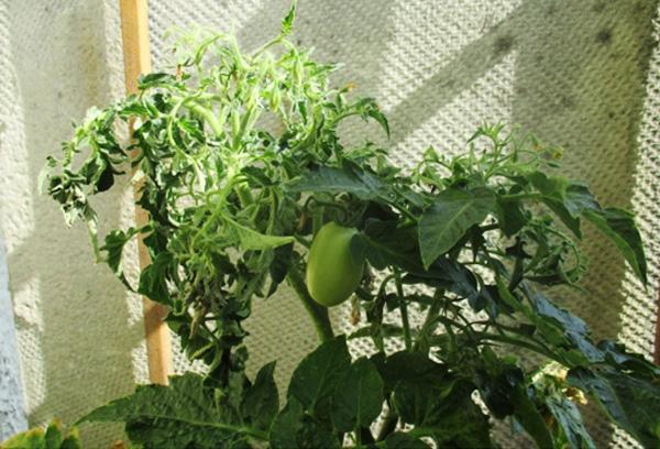 Жирующий куст помидора в теплице