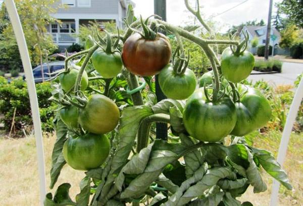Созревание томатов Черный принц