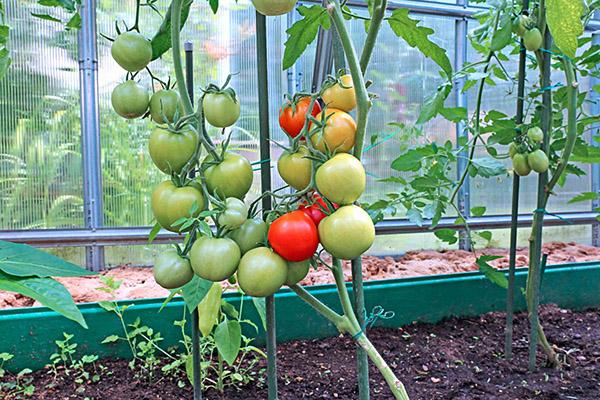 Созревающие в теплице помидоры