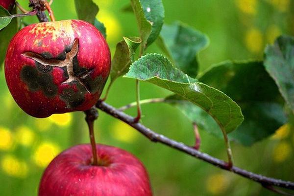 Поврежденные паршой яблоки