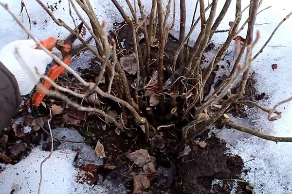 Обрезка крыжовника ранней весной