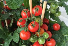 Куст помидоров сорта Москвич