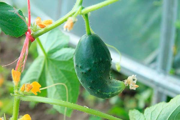 Деформированный плод огурца