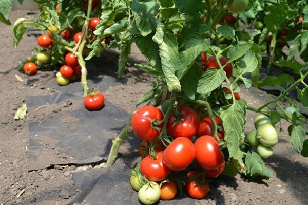 Выращивание помидоров Катя F1