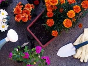 Удобрение цветов в горшках чаем