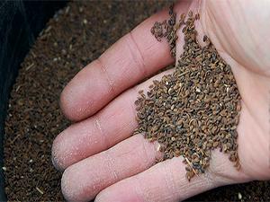 Семена фицелии для выращивания как сидерата