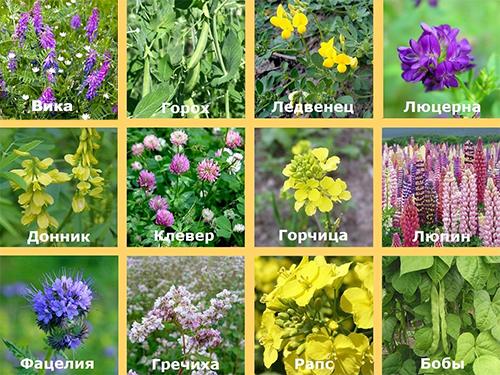 Основные виды растений сидератов