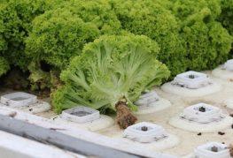 салат выращенный в гидропонике