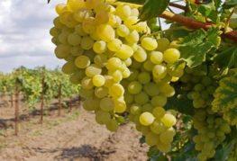 белый виноград