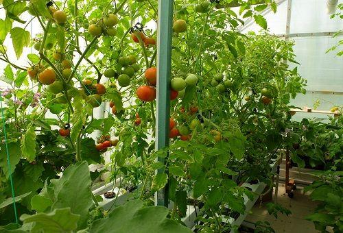 выращивание помидоров методом гидропоники