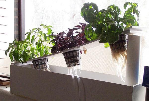 Зелень на гидропонике в квартире