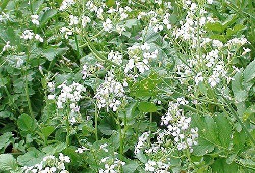 цветущая редька масличная