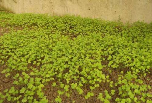 ростки редьки масличная