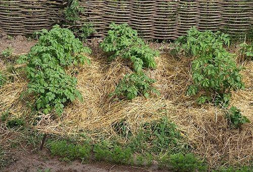 выращивание картофеля в земле