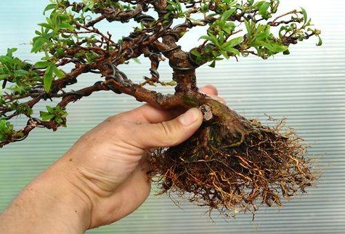 корни азалии