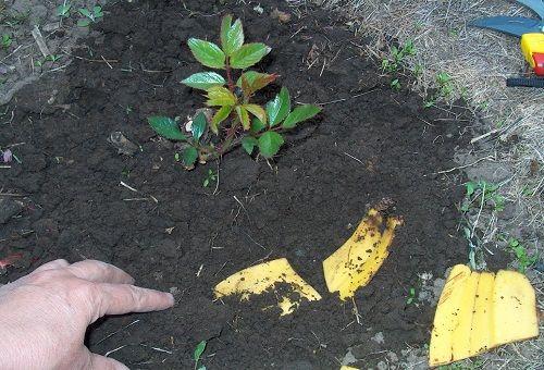 закопка банановой кожуры в землю