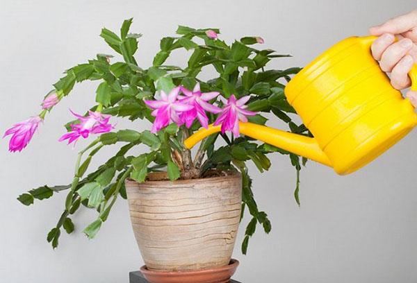 Полив цветущего декабриста